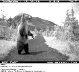bear 71 image