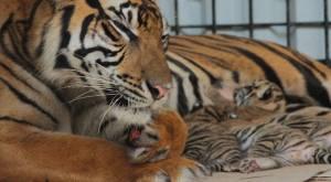 Panti with her cubs